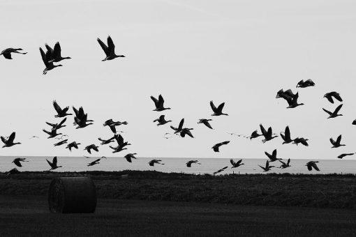 Oies sauvages en plein vol en Suède