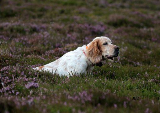Chien de chasse à la Grouse en Écosse