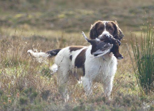 chien chassant petit gibier en ecosse