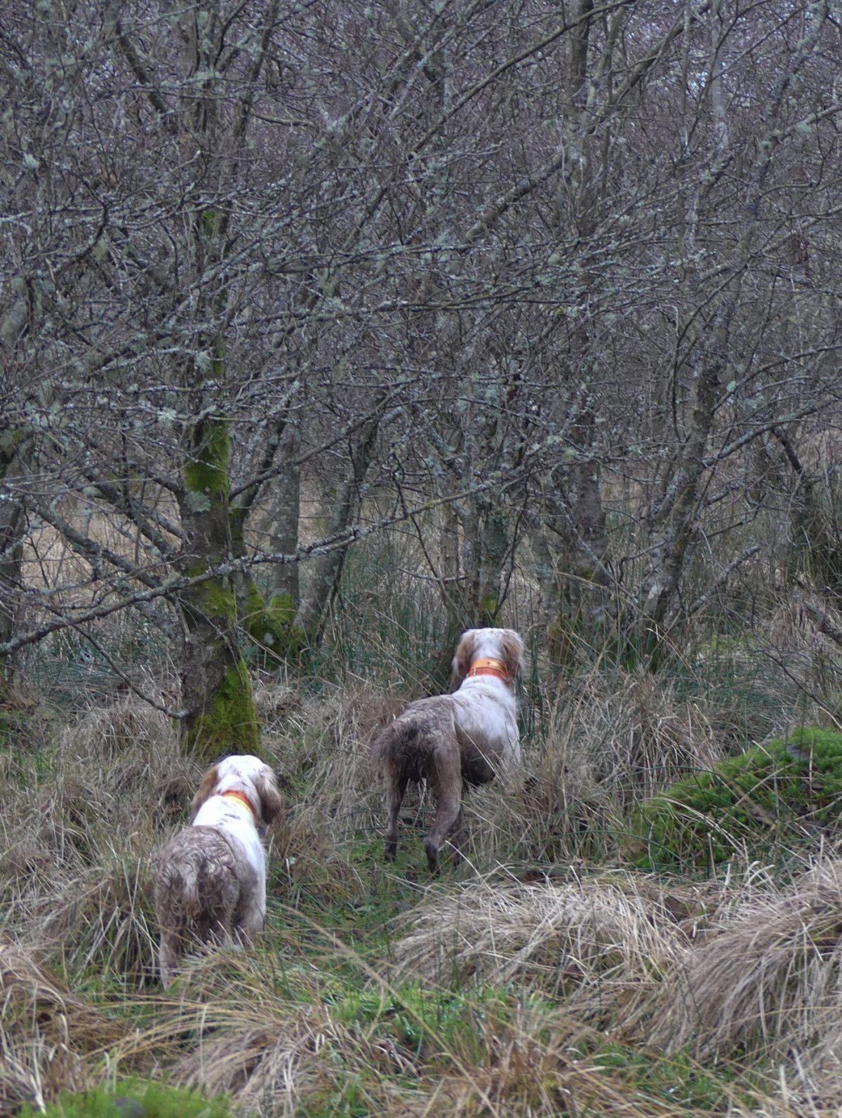 chien de chasse en action en Écosse