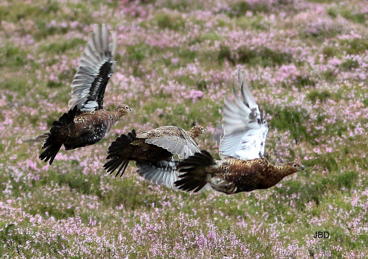 grouses en vol