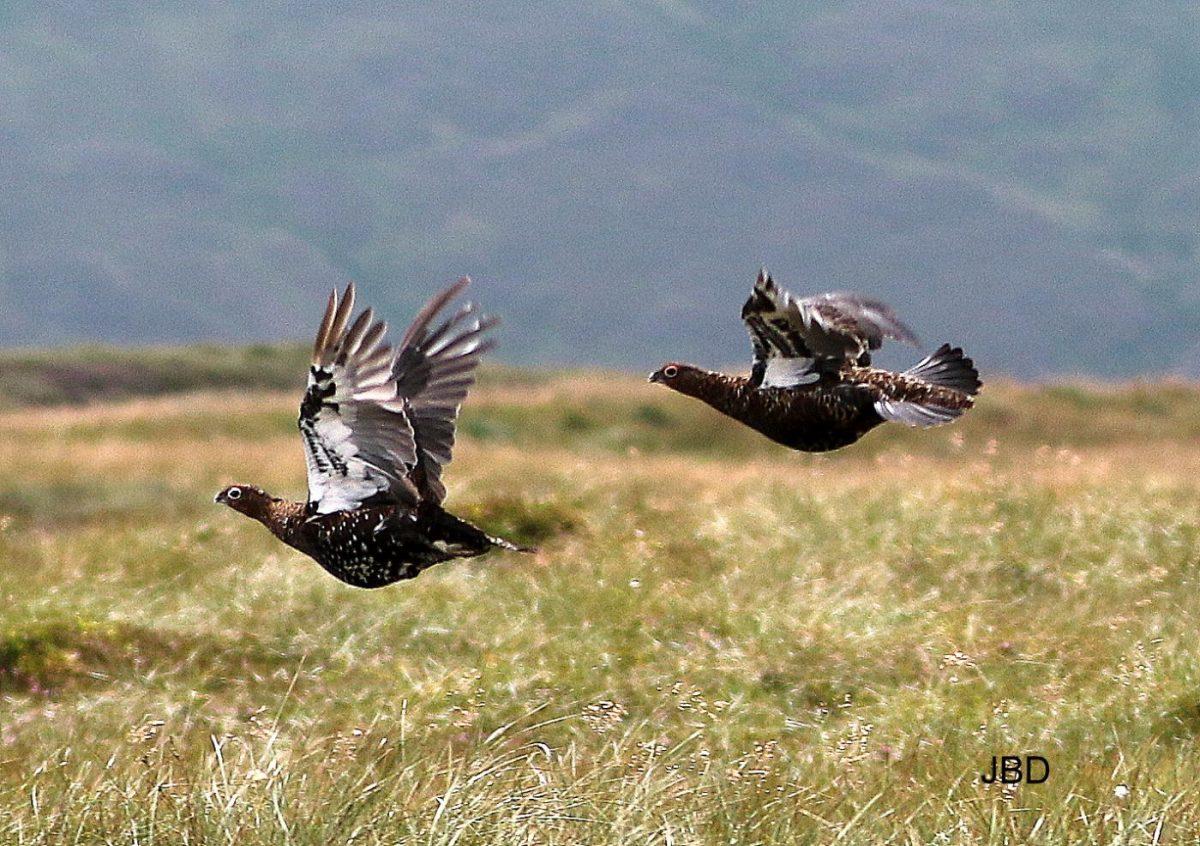 Grouses en vol au dessus d'une prairie