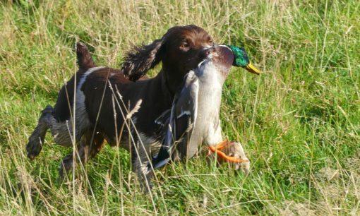 chien tenant canard