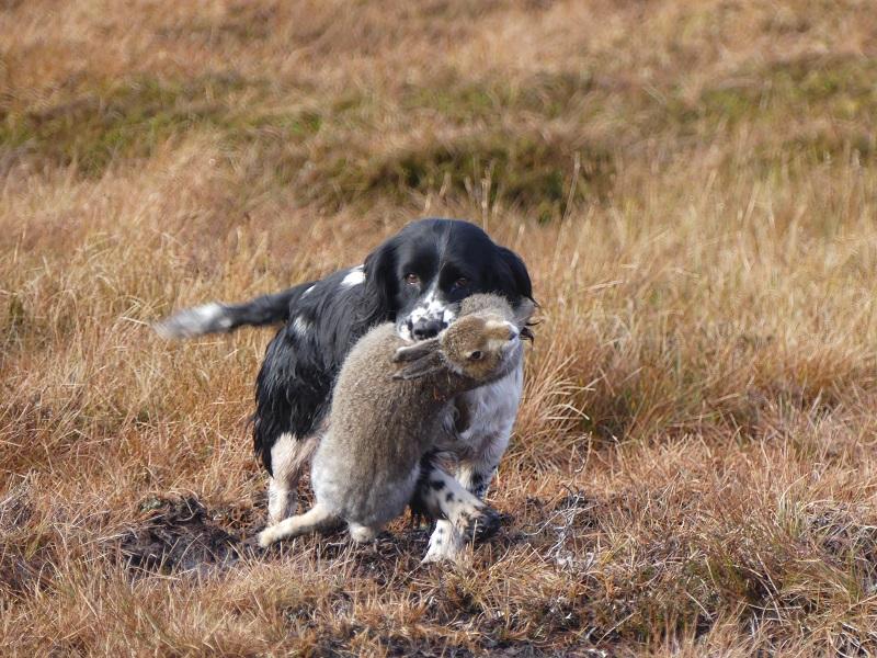 chien-rapport-lievre-chasse
