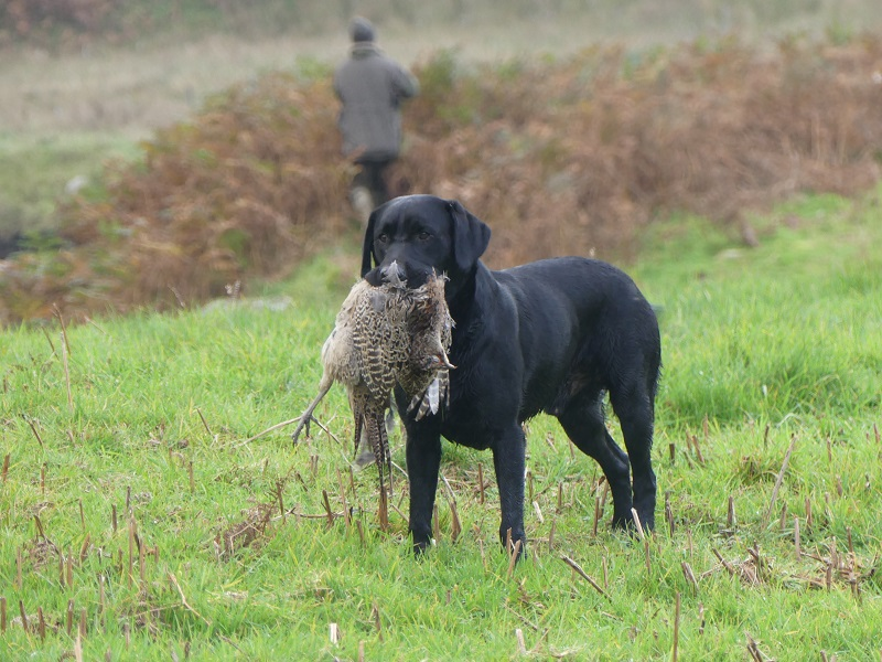 ecosse-chien-chasse-rapport